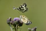 Female Marbled White Butterfly (Melanargia Galathea) Feeding