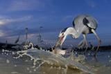 Grey Heron (Ardea Cinerea) Catching Fish  Taken With Remote Camera  Pusztaszer  Hungary  June