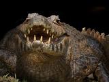 Yacare Caiman (Caiman Yacare) With Mouth Open To Keep Cool  Pantanal  Brazil
