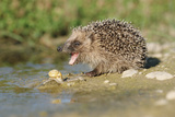 Hedgehog About To Feed On Snail (Erinaceus Europaeus) Germany
