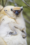 Infant Golden-Crowned Sifaka (Propithecus Tattersalli) On Its Mother'S Back