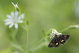 Small Yellow Underwing Moth (Panemeria Tenebrata) On Stitchwort (Stellaria) South Karelia