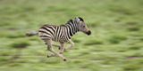 Common Zebra Foal Running (Equus Quagga) Etosha Np  Namibia  Digitally Enhanced