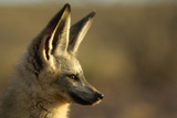 Bat-Eared Fox (Otocyon Megalotis) Portrait  Namib-Naukluft National Park  Namib Desert  Namibia