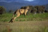 Forester Kangaroo (Macropus Giganteus Tasmaniensis) Jumping  Tasmania  Australia