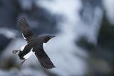 Brunnnich'S Guillemot (Uria Aalge) In Flight  Vardo  Norway  March