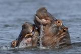 Hippopotamus (Hippopotamus Amphibius) Pair Courting  Chobe River  Botswana
