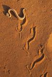 Peringuey'S Adder - Sidewinding Adder (Bitis Peringueyi)  'Sidewinding'  Namib Desert  Namibia  May