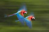 Red And Green Macaws (Ara Chloropterus) In Flight  Motion Blurred Photograph  Buraxo Das Aras