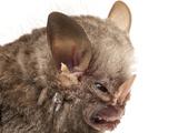 Little White-Shouldered Bat (Ametrida Centurio) Head Portrait, Surama, Guyana Papier Photo par Andrew Snyder