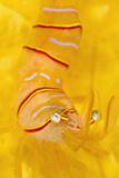 Candy Stripe Shrimp (Lebbeus Grandimanus) On A Yellow Sponge Papier Photo par Alex Mustard