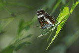 Male White Admiral Butterfly (Limenitis Camilla) Standing On Sunlit Leaves