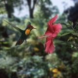 Ruby Topaz Hummingbird (Chrysolampis Mosquitus) Male Digital Composite  Trinidad