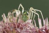 Green Lynx Spider (Peucetia Viridans) Texas  USA