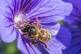 European Honey Bee (Apis Mellifera) Feeding On Flower (Geranium Sp) Monmouthshire  Wales  UK