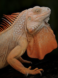 Common Iguana (Iguana Iguana) Albino  Captive  From Central And South America