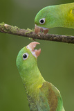 Orange-Chinned Parakeets (Brotogeris Jugularis) Interacting  Northern Costa Rica  Central America