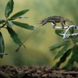 Jacksons 3-Horned Chameleon (Chamaeleo Jacksonii) Catching Cricket With Tongue Captive