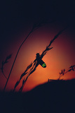 Glow Worm Beetle Female Glowing At Sunset To Attract Mate  Devon England (Lampyris Noctiluca)