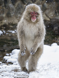 Japanese Macaque (Macaca Fuscata) Female Standing On Hind Legs In Snow  Jigokudani  Japan February