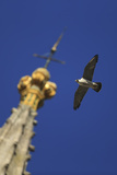 Peregrine Falcon (Falco Peregrinus) Flying Past Spire  Norwich Cathedral  Norfolk  UK  June