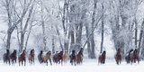 Rf- Quarter Horses Running In Snow At Ranch  Shell  Wyoming  USA  February