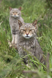 Scottish Wildcats (Felis Sylvestris)  Captive  UK  June
