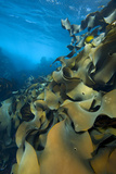 Fronds Of Bull Kelp (Durvillaea Potatorum) Beneath Waves