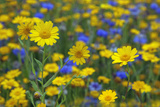 Corn Marigold (Chrysanthemum Segetum) And Cornflowers (Centaurea) In Flower  July  England  UK
