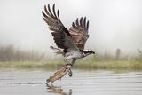 Osprey (Pandion Haliaetus) Catching Trout  Rothiemurchus Estate  Cairngorms  Scotland  UK  July