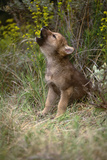 Grey Wolf Pup Howling (Canis Lupus) Captive  Montana  USA