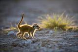 Meerkat (Suricata Suricatta) Baby Walking  Makgadikgadi Pans  Botswana