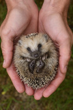 European Hedgehog (Erinaceus Europaeus) Hand Reared Orphan Held In Human Hands  Jarfalla  Sweden