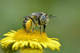 Little Flower Bee (Anthophora Bimaculata) Collecting Pollen From Flower (Pulicaria Dysenterica)