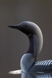 Black-Throated Diver (Gavia Arctica) On Water  Finland  May