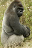 Male Silverback Western Lowland Gorilla Sitting Portrait (Gorilla Gorilla Gorilla) Uk