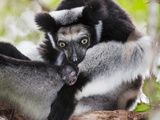 Indri (Indri Indri) Grooming Baby In Rainforest  East-Madagascar  Africa