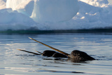 Narwhal (Monodon Monoceros) Showing Tusks Above Water Surface Baffin Island  Nunavut  Canada