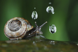 Copse Snail (Arianta Arbustorum) On Oak Tree Branch In Rain