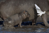Baby Hippopotamus (Hippopotamus Amphibius) Spooked By Little Egret (Egretta Garzetta) In Flight