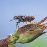 Tsetse Fly (Glossina Morsitans) Resting After Feeding  From Africa