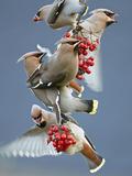 Bohemian Waxwings (Bombycilla Garrulus) Feeding On Berries  Uto Finland October