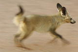 Bat-Eared Fox (Otocyon Megalotis) Running  Blurred Motion Photograph  Namib-Naukluft National Park