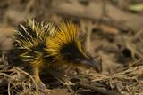 Yellow Streaked Tenrec (Hemicentetes Semispinosum) Madagascar