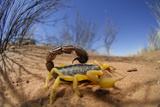 Desert Scorpion (Parabuthus Villosus) Namib Desert  Namibia