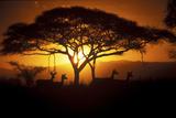 Herd Of Impala (Aepyceros Melampus) Silhouetted At Sunset  Ngorongoro Conservation Area  Tanzania