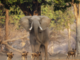 African Wild Dogs (Lycaon Pictus) Passinginfront Of Large African Elephant (Loxodonta Africana)