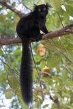 Black Lemur (Eulemur Macaco) Male  Nosy Komba  Madagascar