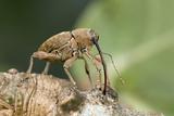 Acorn Weevil (Curculio Venosus) Drilling Into Oak Twig To Drink Sap Captive  UK  August