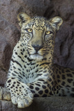 Male Arabian Leopard (Panthera Pardus Nimr) At Arabian Wildlife Centre